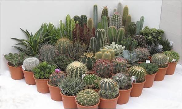 Variedades Cactus