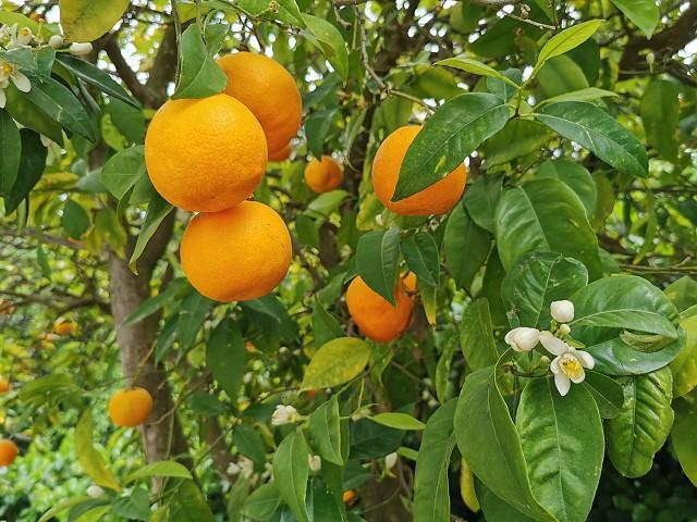 Citrus sinensis.