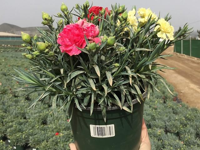 Dianthus carnelia