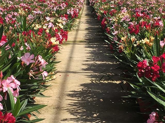 Nerium oleander tricolor