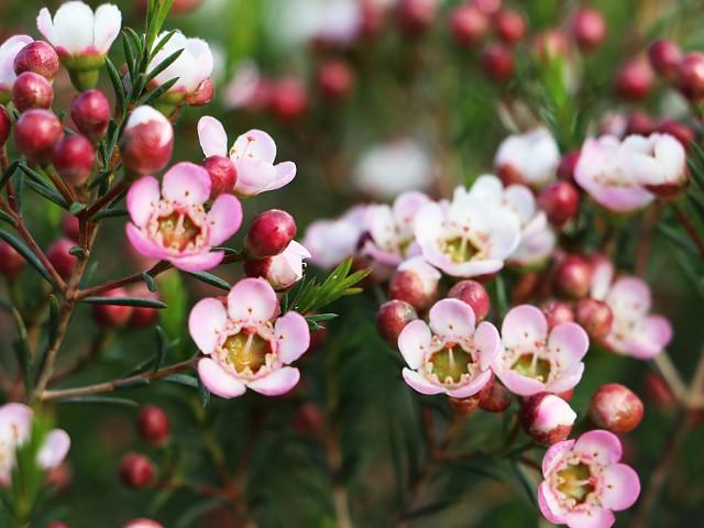 Chamelaucium uncinatum. Flor de cera.