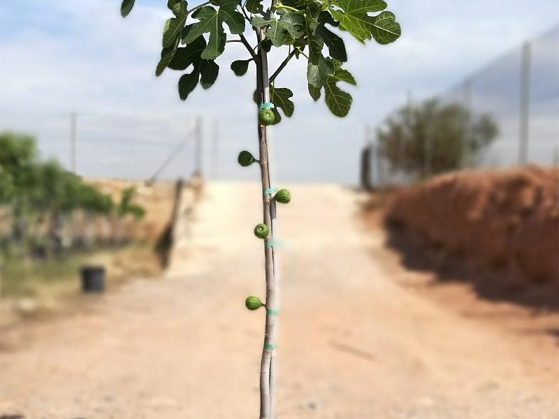 Mediterrane Obstbäume